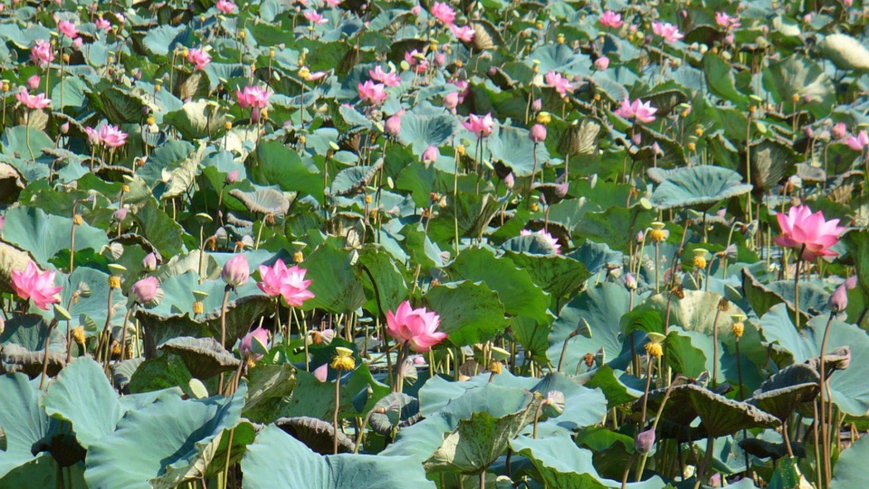 De Lotusgordel