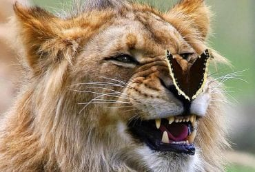 lion butterfly